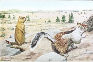 "Wikimedia##Oregon ground squirrel, left, and Douglas' ground squirrel, right, as illustrated in ""Natural History of the Ground Squirrels of California,"" (1918) by Joseph Grinnell and Joseph Dixon."