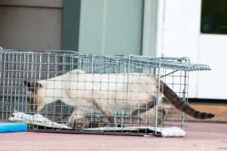 Submitted photo##A Siamese cat enters a trap set to capture it and transport it to the Ferral Cat Coalition.