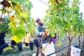 News-Register file photo##A worker clips bunches of Pinot noir grapes at Keeler Estate Vineyards during last fall s harvest.