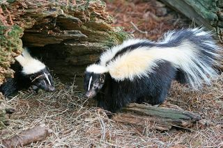 Image: Tom Friedel/www.birdphotos.com ## A pair of skunks in the wild.