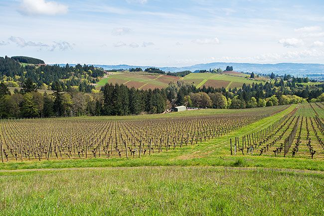 Marcus Larson/News-Register##First planted in 1971, Knudsen Vineyard's prime