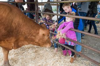 Marcus Larson / News-Register##Madelyn Cottrill and her uncle, Nicholas Rahmig, feed handfuls of hay to a cow at Baby Animal Day at Buchanan-Cellars in McMinnville.
