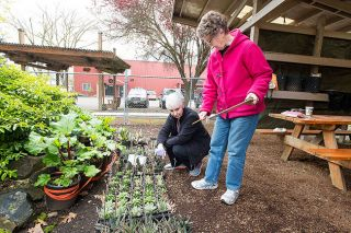 Marcus Larson/News-Register##Yamhill County Master Gardeners Susan Perdue and Susan Nesbitt add price tags to different varieties of aloe plants in preperation for this weekend s big plant sale event.