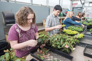 Marcus Larson/News-Register##McMinnville High students, from left, Katie Steeprow, Kameron Sylvia, Taylor Ames, and others clean and trim their plants in preparation for the upcoming plant sale.