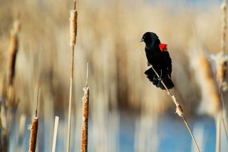 © Can Stock Photo##Red-winged blackbirds nest in marsh vegetation, such as cattails and rushes.