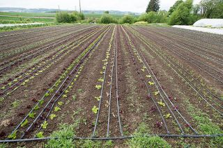 Marcus Larson / News-Register##Rows of lettuce, spinach, onions, broccoli and other spring vegetables at Even Pull Farm are still behind schedule, thanks to the extremely west spring weather.