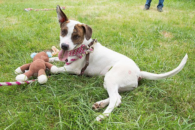 Marcus Larson/News-Register##Cookie plays with her stuffed monkey. Her one ear up, one down look is not caused by her handicap.