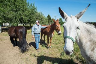 "Marcus Larson/News-Register##Hal Sheldon spends time with his three mules Gus, Otis and Lizzy. They like him, he said. ""They know you're the guy who's been feeding them, so they buddy right up."""