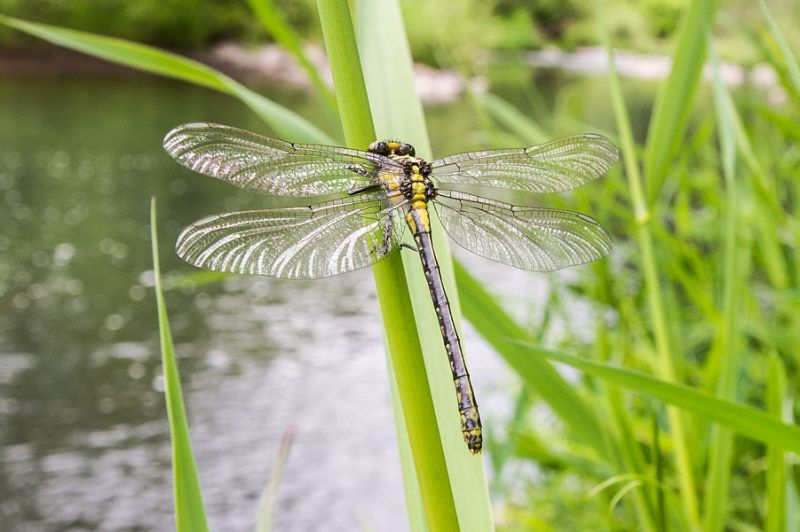 Marcus Larson/News-Register##A dragonfly rests on a tall blade of grass in Blackwell Park.