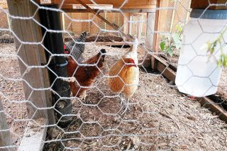 Submitted photo##Stephanie DeWitt's chickens, pictured here, have been declared a nuisance in Sheridan. DeWitt's house lies in an area of the city that prohibits chickens.