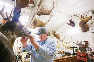 Rockne Roll/News-Register##Jessie Grace works on a deer head in his workshop outside Carlton on Wednesday. Grace and his father, Dan,  started Foothills Taxidermy together in 1998; Dan is now mostly retired from the business.