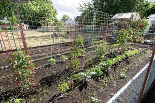 Marcus Larson/News-Register##A stretch of Mary and Dean Wimer s vast in-ground vegetable garden.