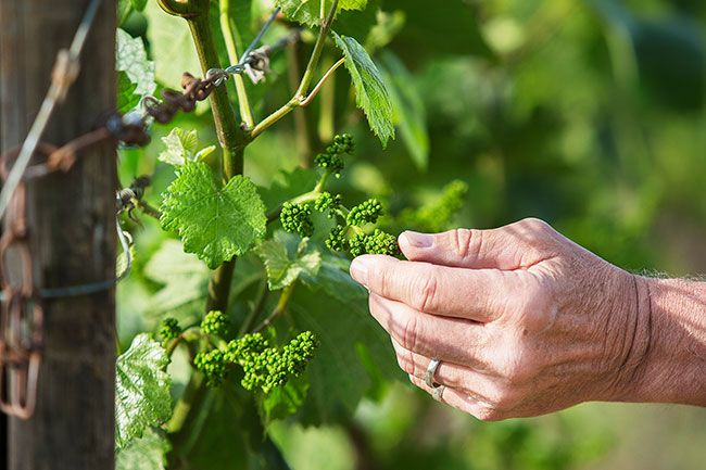 Rockne Roll/News-Register##In Bailey's vineyard earlier this month, vine clusters were about to flower.