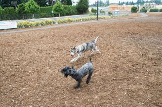Marcus Larson/News-Register##Jasper the husky and friend Casey take turns chasing each other at the dog park on Riverside Drive in McMinnville.