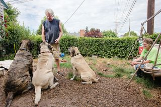 Rockne Roll/News-Register##Gary May, top left, offers treats to George, Leonie and Gracie as his wife, Susan, looks on at their home in McMinnville. The three mastiffs are the Mays' personal pets.