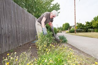 Marcus Larson / News-Register##Darrel King pulls and cuts back weeds along West McMinnville Linear Park, where he and his wife, Lucy, enjoy walking.
