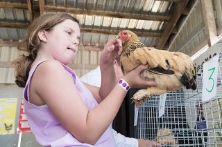 Marcus Larson/News-Register##Chloe Holveck evaluates a hen during a special judging contest for FFA students. The Yamhill County Fair and Rodeo continues today and Saturday.