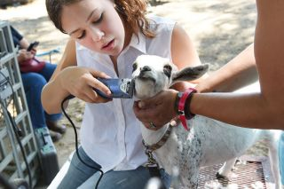 Rusty Rae/News-Register##Izzy Tilletson, 17, prepares her goat, Lily, for the Yamhill County Fair. Izzy said the two have a strong bond. The 6-month-old dairy goat likes to follow her around.