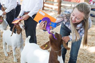 Rockne Roll/News-Register file photo##Elsie Duin of Raiders 4-H Club tries to retrieve a ribbon from her goat, Lovebug, during last year's Yamhill County Fair. This year's event runs Aug. 1-4.