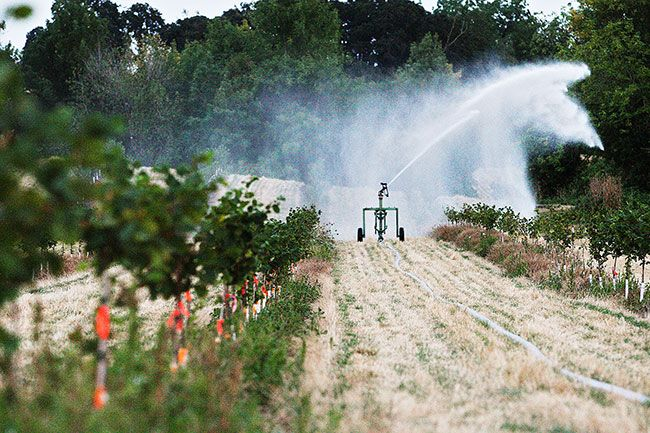 Rockne Roll / News-Register##An irrigation gun waters young trees. Typically, fruit and nut trees require irrigation until they are well established, although mature orchards may not need watering in most years. With soil moisture heavily depleted this year, even some mature trees are suffering from lack of water.