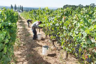 Marcus Larson/News-Register##Workers at Stoller Vineyards hastily collect grapes for this year s harvest.  Picking is happening several weeks early this year.