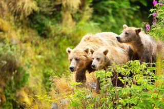 Lisa Hupp, U.S. Fish and Wildlife Service##A female bear and her cubs walk near a red elderberry bush on the edge of a cliff on Kodiak Island, Alaska.