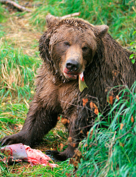 Stevbrigman / Can Stock Photo##An Alaskan brown bear snacks on a freshly caught salmon.