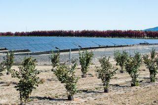 Marcus Larson/News-Register##Solar panels next to a young filbert orchard.