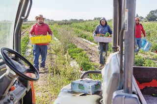 Rockne Roll/News-Register##Gilberto Martinez, Manuel Zaragoza and Pedro Martinez of Bernards Farm return to their vehicle with bins of ripe, ready-to-market bell peppers.