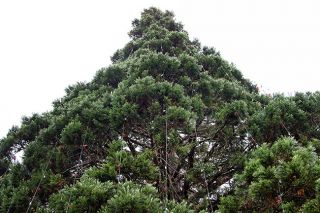 Marcus Larson / News-Register##The Giant Sequoia in McMinnville City Park will be lighted Friday evening for the Christmas season.