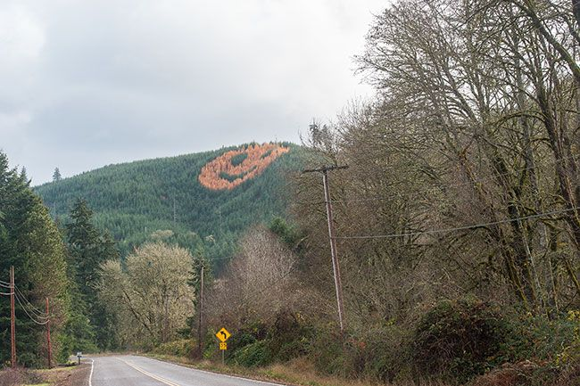 Rusty Rae/News-Register##A combination of Douglas fir and hybrid larch trees produced the Highway 18 smiley face between Grand Ronde and Willamina.