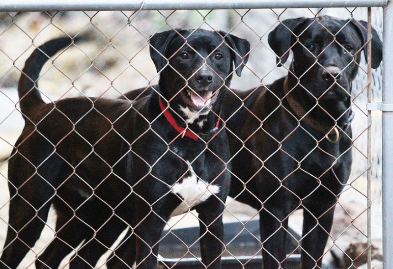Rockne Roll/News-Register##A pair of rescued dogs in a kennel in Keiss' backyard.