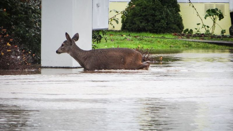 Photo submitted by Jay Switala##Deer looking for dry land on Phyllis Dr. in Mcminnville.