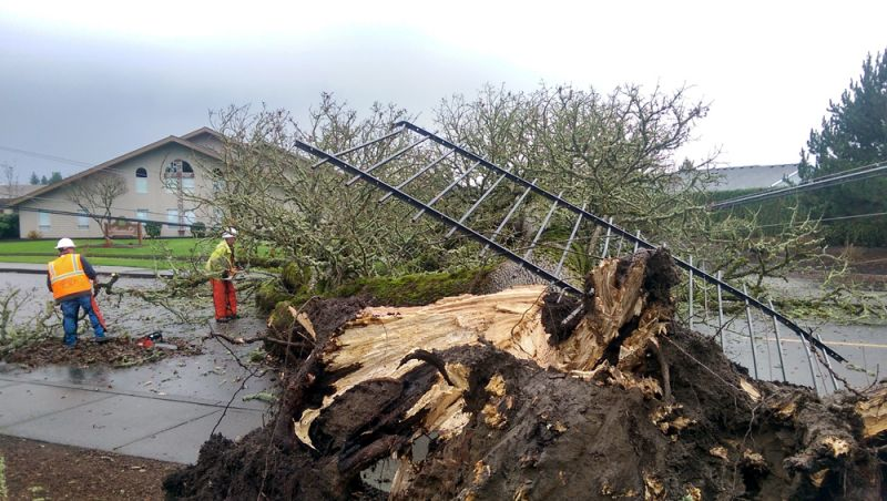 Ossie Bladine/News-Register##McMinnville Water & Light workers begin the removal process of a large tree that fell across Wallace Road Wednesday. The incident damaged a fence that was above the tree s roots, but no injuries were reported.