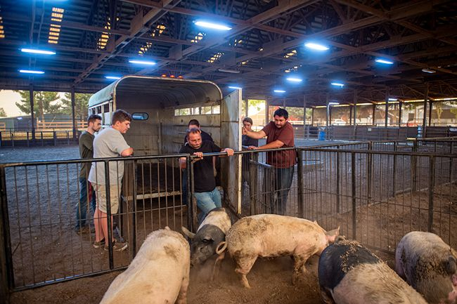 Rusty Rae/News-Register##Justin Harlon of Colton gives the last of his five pigs a nudge into a pen at the Yamhill County Fairgrounds Wednesday. He moved his animals to Molalla and through they were safe, but had to evacuate them again to the McMinnville location.