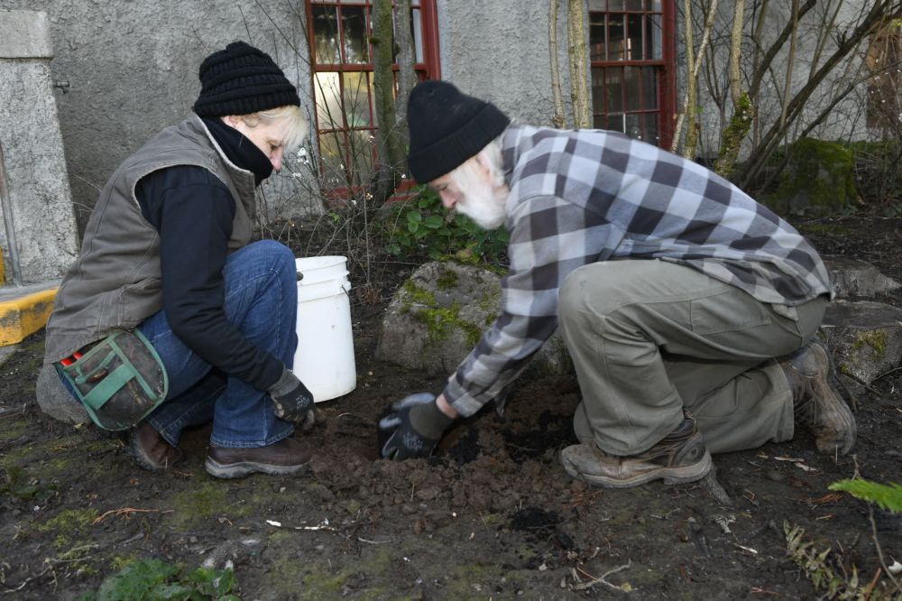 Rusty Rae/News-Register##Catie Anderson and Dave Hanson tend native plants outside the McMinnville Public Library during a work party Saturday, Jan. 23.